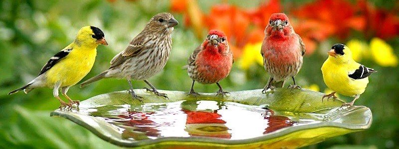 Endeavoring to Find Canary Birds For Sale UK