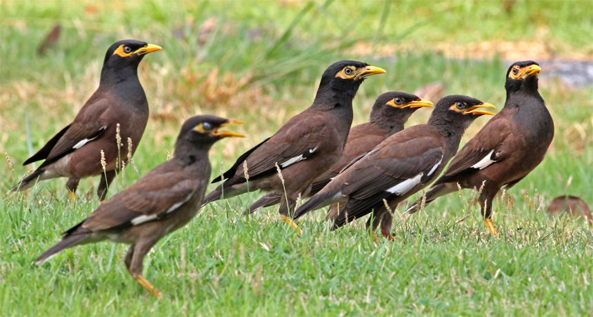 Mynah Birds Can Talk For Real