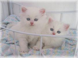 Glorious chocolate persian kittens