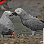 Macaw and African Grey birds