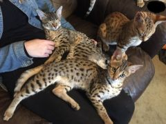 1 Boy And 2 Female Savannah Kittens for Sale UK f2 Free Classified Ads