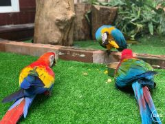 1 Year Pair Macaw Parrots For Sale