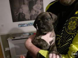 19 week old pup dad is a cane corso and mum is a scotts american bulldog had