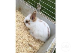 2 baby lionheads for Sale in the UK