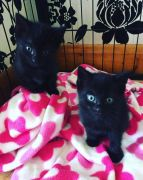 2 Black Male Kittens for Sale Derbyshire UK Free Classified Ads