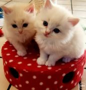2 Dollfaced White Ragdoll kittens
