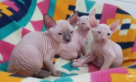 2 Fantastic Sphynx Cats available