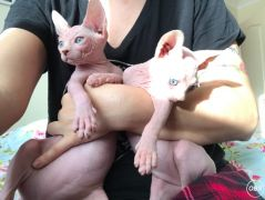 2 Sphynx Cats Available For Adoption