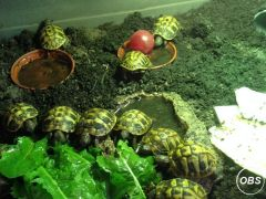 2015 Hermanns Hatchlings Looking for New Home at UK Free Ads