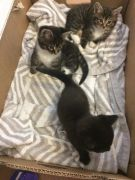 3 Gorgeous Kittens for Sale Suffolk UK Available at UK Free Classified Ads