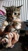 3 X MIXED TABBY Kittens for Sale North West UK Active and Healthy Available at Free Ads UK