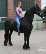 6 Year Old Kfps Reg Friesian Gelding