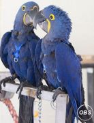 A Bonded Pair Of Hyacinth Macaw parrots for adoption