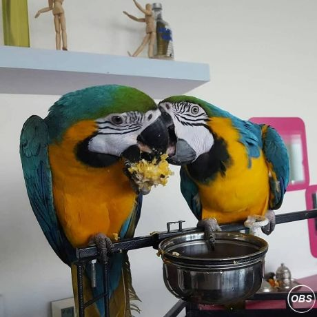A Bonded Pair Of Hyacinth Macaw