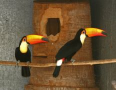 A pair of toco toucans birds available