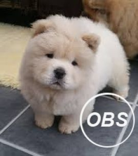 adorable chow chow puppy ready for new homes