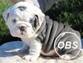 adorable english bulldog puppies ready to go for new homes