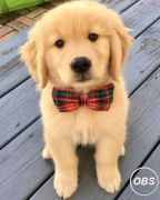 Adorable Golden retriever puppy ready to go