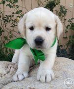 Adorable Labrador puppy ready for new home