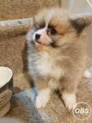 ADORABLE MALE AND FEMALE POMERANIAN  PUPS AVAILABLE