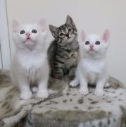 Adorable Playful and Very Cute Kittens for Sale UK London Free Classified Ads