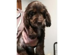 Adorable Show Type Cocker Spaniel Puppies for Sale in the UK