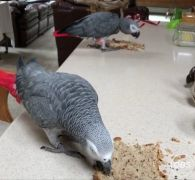Adorable Tame African Gray Parrot