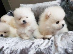 adorable tcup puppies contact for informations