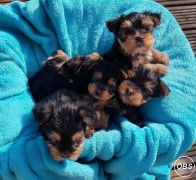 Adorable Teacup Yorkie Puppies 447440524997
