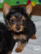 Adorable Teacup Yorkshire Terrier Puppies