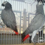 African Gray for sale  Hyacinth Macaw for sale  Umbrella Cockatoo for sale