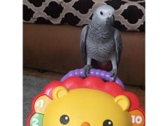 AFRICAN GREY BABY PARROT Birds for Sale in the UK