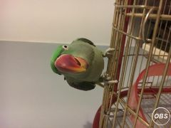 Alexandrine Parakeet Healthy and Active at UK Free Classified Ads