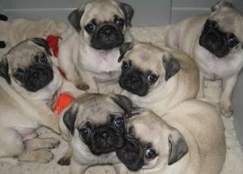 Amazing Pug  Puppies Available for sale