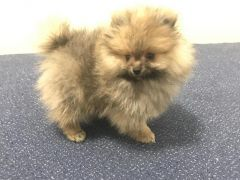 Amazing Very Fluffy Teddy Bear sable Miniature Pomeranian for Sale at UK Free Classified Ads