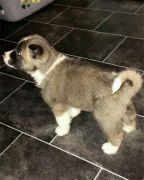 American Akita Puppy Boy