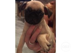Available Cheap Pug puppy for Sale in Swansea