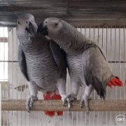 Available Congo African Grey Parrots For Ready Homes