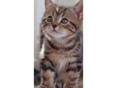Available Gorgeous and Cute tabby kitten for Sale in the UK