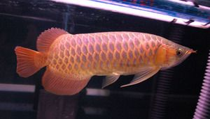 available Super red arowana Asian red Leichardti Arowana jardini arowana Malysian Gold Base