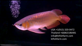 available Super red arowana Asian red Leichardti Arowana jardini arowana
