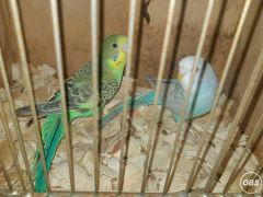 Baby Budgies Ready to Leave Now at UK Free Ads