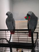 Baby Hand Reared African Grey