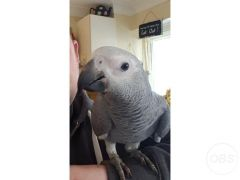 Baby handreared African grey for Sale in the UK