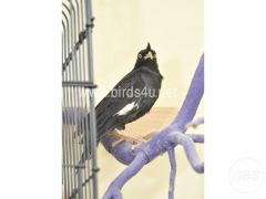 Baby Large Crested Mynah Talking Bird for Sale in the UK