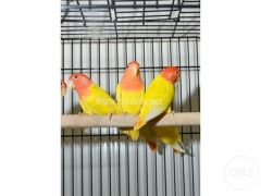 Baby Love Bird for sale for Sale in the UK