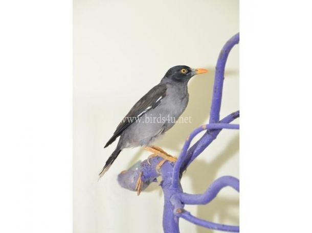 Baby Mynah Talking Bird for sale in the UK | Pets for Sale ... - photo#34