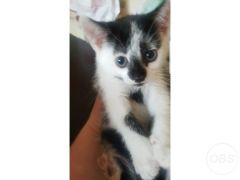Beautiful and Cute little kitten for Sale in the UK
