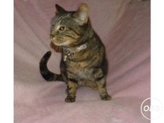 Beautiful Bengal Cross Female Cat For Sale in the uK