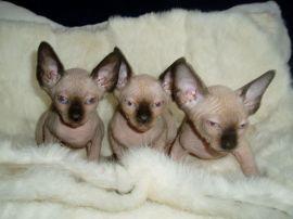 Beautiful Blue Eyed Sphynx kittens